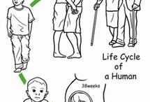 life cycle-human