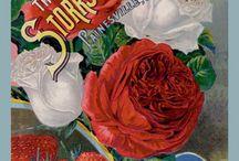 All Things Gardening Vintage Seed Packet - rose