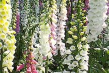 foxglove pretty but poisonous / by chris aulner