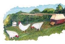 Chickens In My BackYard