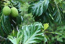 Breadfruit tree / the board is for a collection breadfruit tree