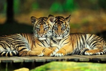 Tigers! / by Sandy Hall