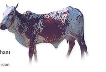 Pakistan Cattle Breeds #1 / The Lohani (aka Acchai) is found in Northwest Pakistan and is closely related to Afghan cattle. The Lohani is a draft type that is found in the Loralai district in Pakistan's Baluchistan Province and Dera Ismail Khan in NWF Province. They have a red coat splashed with white spots. Their average weight at maturity is 300 kg for the males and 235 kg for the females. They have a short-stature and a small size. Short thick horns, small ears, short neck, well developed hump, moderate dewlap, black switch of tail, small tucked up udder in cows, and it is a hardy and sure-footed animal. Male stock are suitable for light work in hilly and sub-hilly areas.
