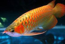 Arrowana/Ikan Arwana