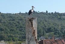 Ooievaars  (Storks)