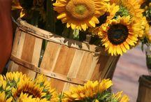 Napraforgó / Sunflower