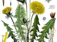Plante médicinales