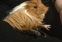 Zozo the guinea pig