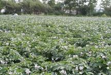 I nostri campi di patate Delizia Blu