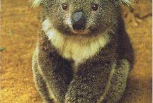 Mackóim / koala.barna,jeges,panda macik