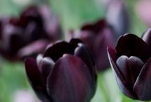 Tulips! / My favorite flowers!  / by Mary McPhie Perez