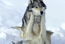 Grey wolves at play / Wolves