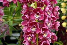 Orkide (Orchid)
