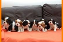 Cavvys / Puppies!