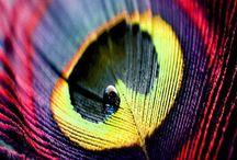 цвета перьев павлина
