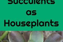 Succulents as house plants