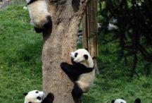 Arvore de panda