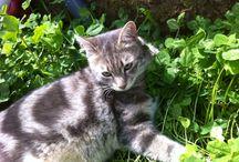 Oggy the cat / Gatto domestico