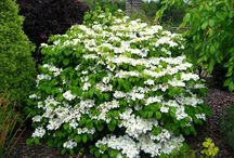 Evergreen Flowering Shrubs