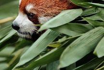 Pandas are love