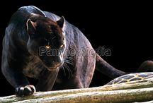 PantherMedia