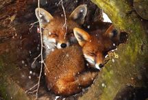 Foxes,wolves