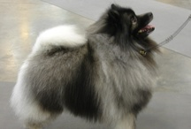 Keeshond / My keeshond show dogs. Keeshonden are the national dog of Holland .
