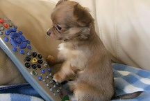 Chihuahua, dog of my heart  / by Birgitte Mouritzen