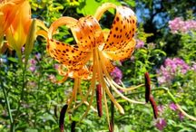 FLOWER GARDENING / Flowers are beautiful to grow and beautify your yard and home....