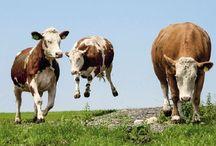 Kuh Humor / Lustige Tierbilder, Witzig, amüsant, zum lachen