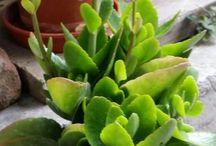 Plantas semisombra