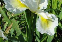 Flowerses / Ирисы бородатые и не только - Цветы - ВИНОГРАДНАЯ ЛОЗА