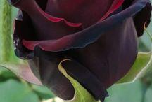 love my Roses,  God's handy work.