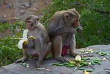 Monkey Temple, Jaipur Rajasthan
