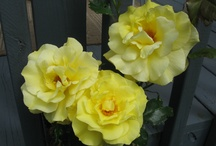 A  Rose is a Rose is Gorgeous  / Pictures of roses ...the most lovely of blooms / by Deb K