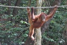 Orangutan rescue / On the island of Kota Kinabula, this rescue preserve helps save the ones found ill and displaced by cutting down the rain forest / by Mediasmith