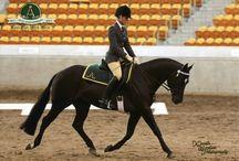 Australian Stock Horses