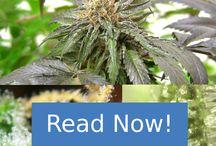 Growing Marijuana / Growing Marijuana