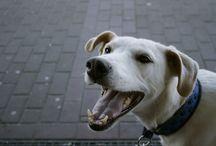 Shiro / My Dog Shiro (German Trailhound)