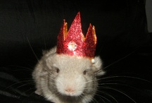 Chinchilla Hatter / Pictures of my treat-bribed chinchillas wearing hats I made. / by Nikki Clarke