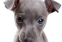 Greyhound / Hond