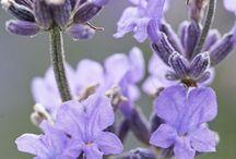 Levandule  / Takhle se pěstuje levandule pro naše produkty v Moldávii :-)  Z 600 tun BIO levandulových květů, pěstovaných ve Fair Trade projektu v Moldávii, se za rok vydestiluje až 6 tun esenciálního oleje.   Květy levandule se sklízejí ručně od konce června do poloviny července.   Levandule v biokvalitě se v Moldávii pěstuje na více než 200 hektarech a pěstování levandule velmi pomohlo v ekonomickém a sociálním rozvoji regionu.