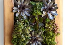 Suculentas / Plantas