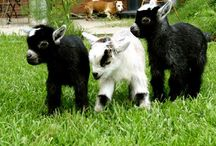 Caprine Friends aka Goats