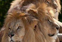 Løver og tiger