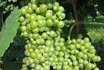 Sfriso Harvest 2014