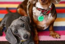 Dachshunds / by mustlovedogs