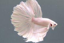Beta fish siam