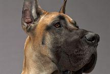 Dogs/Greate Dane