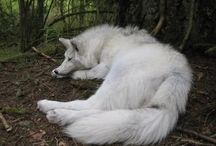 Wilki / Wolfs
